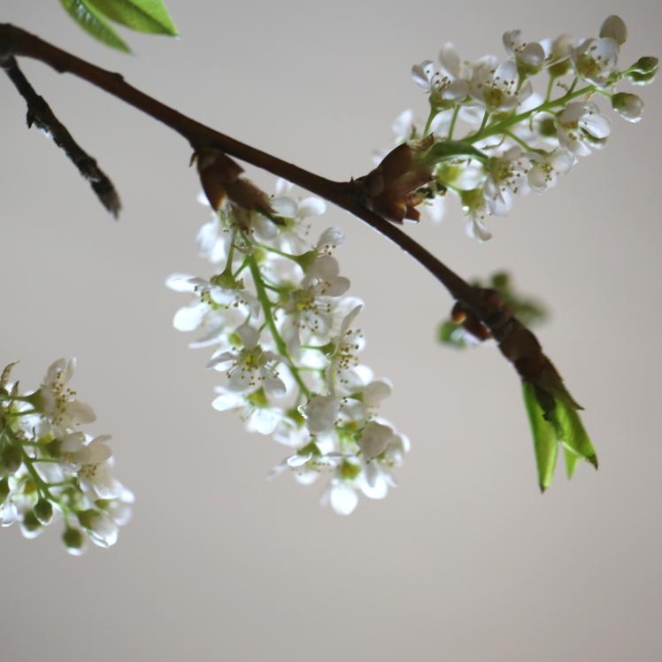bird-cherry